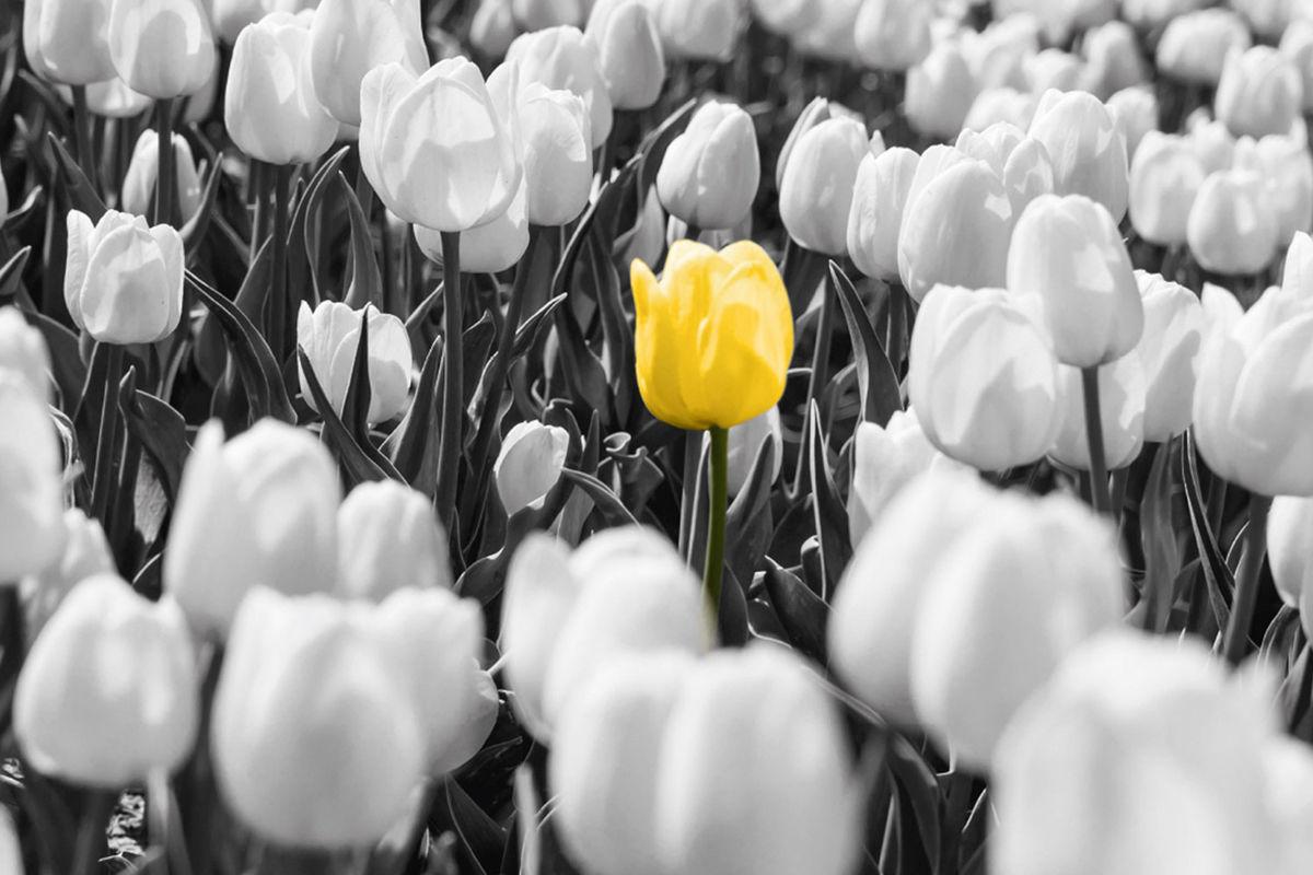Tulp zwart-wit