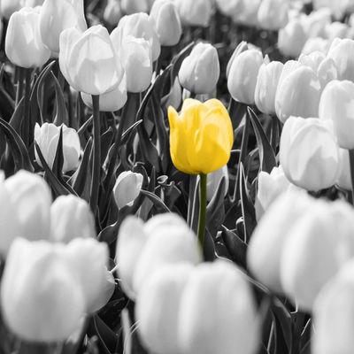 bloeiende tulp